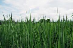 Grön rice royaltyfria bilder