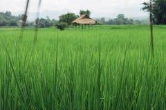 Grön rice arkivbild