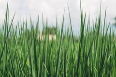 Grön rice royaltyfria foton