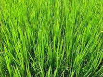 Grön rice royaltyfri fotografi