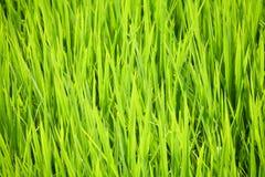 grön rice Fotografering för Bildbyråer