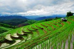 Grön rice Arkivbilder