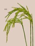 Grön rice stock illustrationer