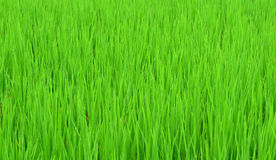 grön rice för fält Royaltyfri Foto