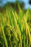grön rice för fält Royaltyfria Bilder