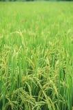 grön rice för fält Arkivfoto