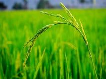 grön rice för fält Arkivbild