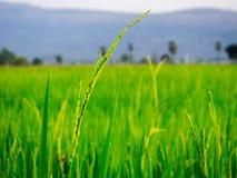 grön rice för fält Royaltyfri Fotografi