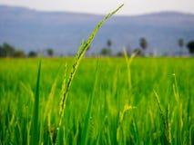 grön rice för fält Fotografering för Bildbyråer