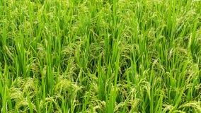 grön rice för fält Natur Jordbruk Arkivfoton