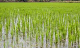 Grön rice sätter in Arkivfoto