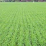Grön rice sätter in Arkivbilder