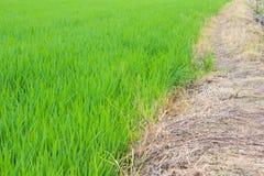 Grön rice sätter in Arkivbild