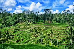 Rice sätter in på Bali Indonesien Royaltyfria Bilder