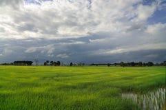 Grön risfält Arkivfoto
