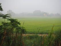 Grön risfält i bygd med dimmig morgon Fotografering för Bildbyråer