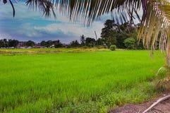 Grön risfält i förorts- royaltyfri bild