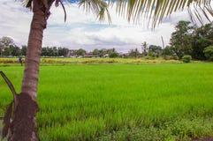 Grön risfält i förorts- royaltyfri fotografi