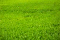 Grön risfält i förorts- royaltyfria bilder