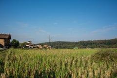 Grön risfält i Pua Arkivbilder