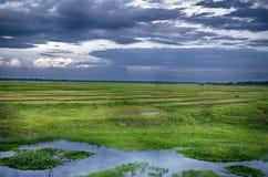 Grön risfält i sommar med molnigt Arkivfoto