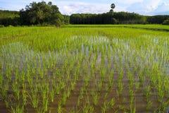 Grön risfält i sydliga Thailand royaltyfria bilder