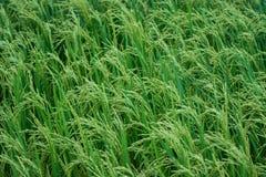 Grön risfält Kanchanaburi Thailand royaltyfri bild
