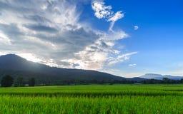 Grön risfält med bergbakgrund under blå himmel Arkivfoton