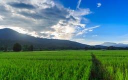 Grön risfält med bergbakgrund under blå himmel Arkivfoto