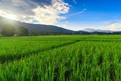 Grön risfält med bergbakgrund under blå himmel Fotografering för Bildbyråer