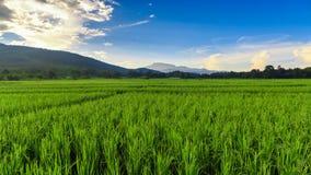 Grön risfält med bergbakgrund under blå himmel Arkivbilder