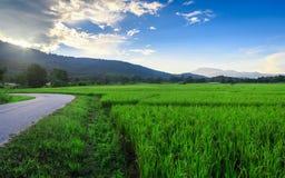 Grön risfält med bergbakgrund under blå himmel Arkivbild