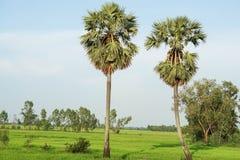 Grön risfält med två sockerpalmträd Royaltyfri Foto