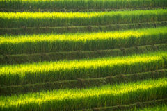 Grön risfält på terrass av det Vietnam landskapet Arkivbilder