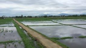 Grön risfält på vårtid stock video