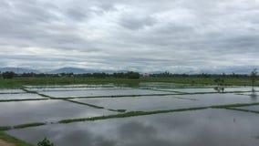 Grön risfält på vårtid arkivfilmer