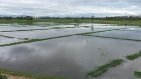 Grön risfält på vårtid lager videofilmer