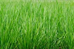 Grön risfält som tas under den ljusa solen Arkivfoton