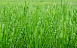 Grön risfält som tas under den ljusa solen Arkivfoto