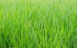 Grön risfält som tas under den ljusa solen Royaltyfri Foto