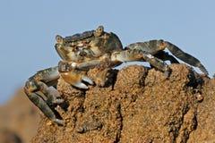 grön rock för krabba royaltyfria bilder