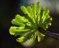 Grön rosett av aeoniumen fotografering för bildbyråer