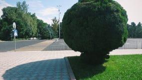 grön rund tree Royaltyfri Bild