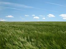 grön rye för fält royaltyfria bilder