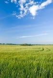 grön rye för fält arkivfoton