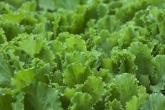 Grön sallad lämnar bakgrund Royaltyfria Foton