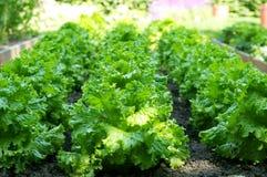 Grön sallad som växer i sparad Arkivfoto