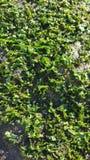 grön seaweed Arkivbild