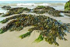 Grön seaweed på en strand royaltyfri bild