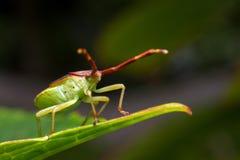 grön shielbugsida fotografering för bildbyråer